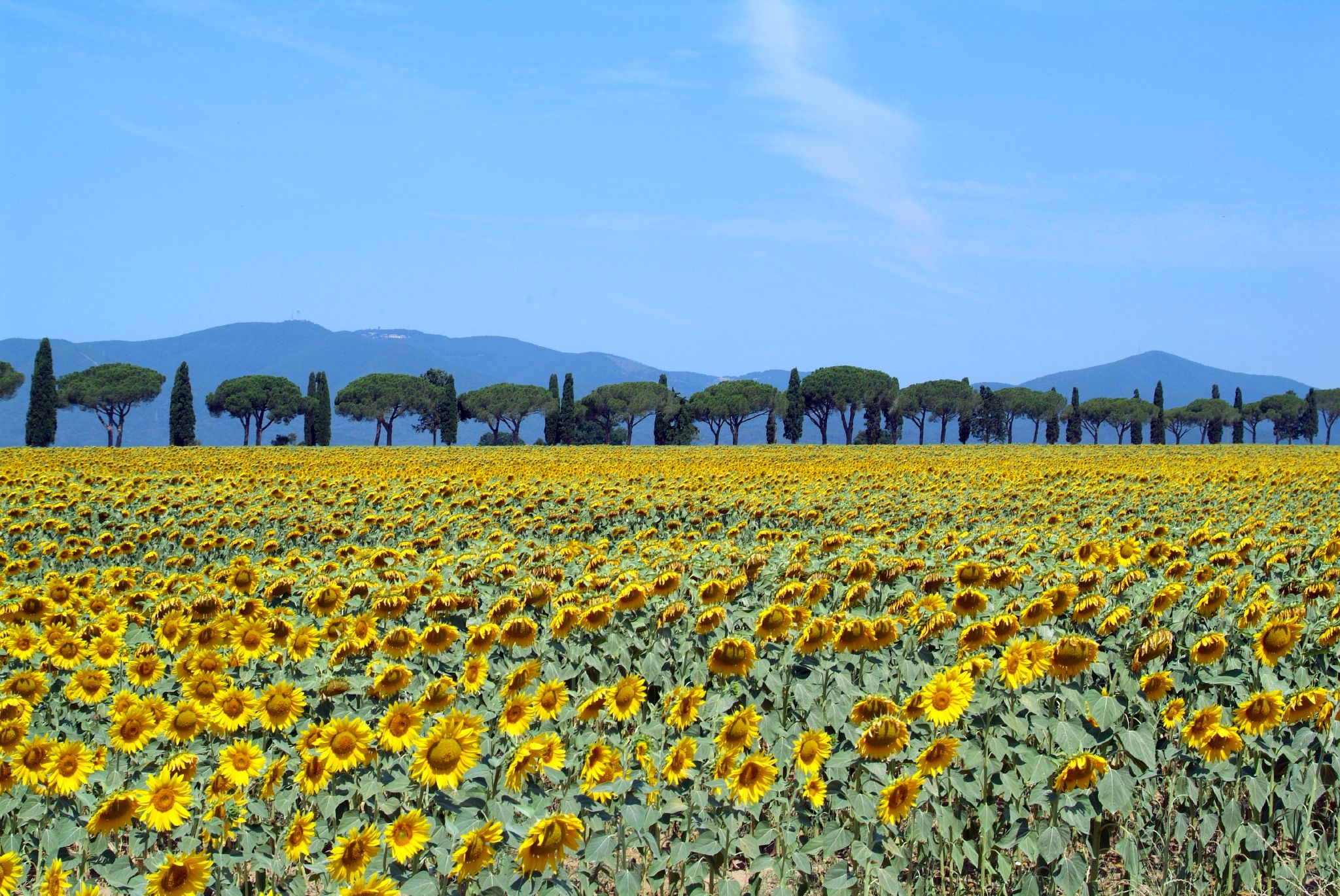 Sunflowers_in_bloom_-_Maremma_Toscana_-_
